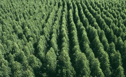 floresta-plantada